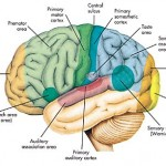how-brain-works