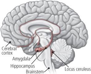 Locus coeruleus anatomy